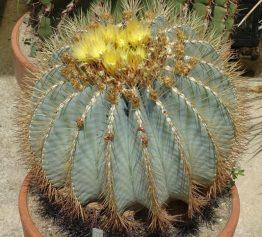 بذر فرو کاکتوس گلاسنس