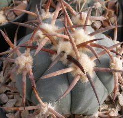بذر اچینوکاکتوس هوریزانتالینیوس