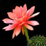 بذر اچینوپسیس گل رنگی ده عدد