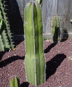 بذر کاکتوس پایه چرمی
