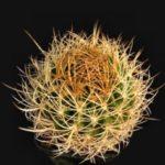 بذر پیرهوکاکتوس