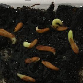 بذر پاچیپودیوم روسولاتوم