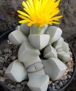 بذر لاپیداریا
