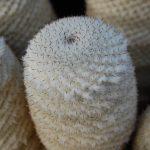 بذر مامیلاریا آلبیلانتا
