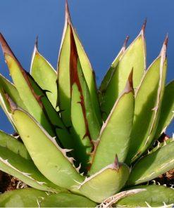 بذر آگاو هوریدا