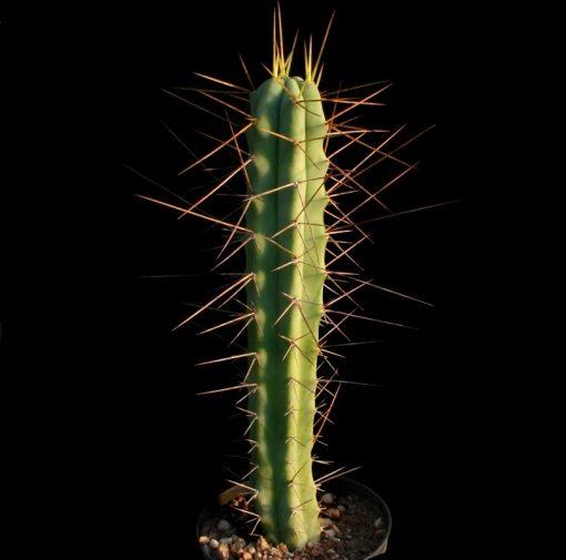بذر تریکوسرئوس بریجسی
