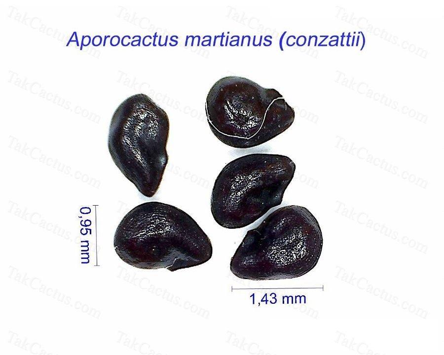Aporocactus martianus conzattii HF.jpg1