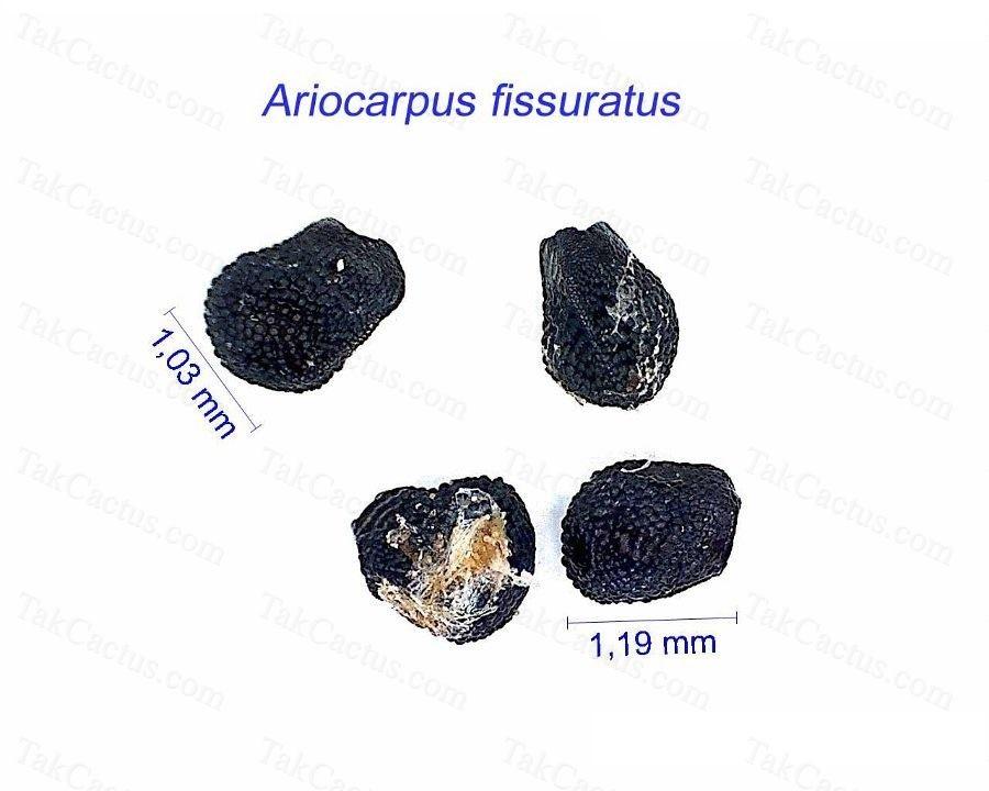 Ariocarpus fissuratus AB.jpg1