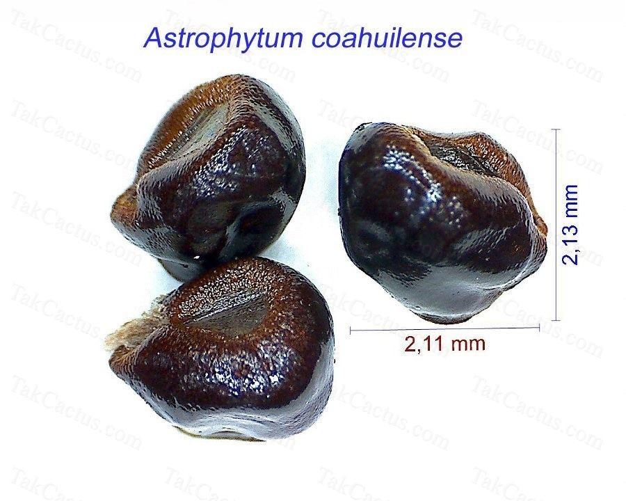 Astrophytum coahuilense HW.jpg1