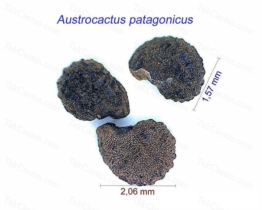 Austrocactus patagonicus B K