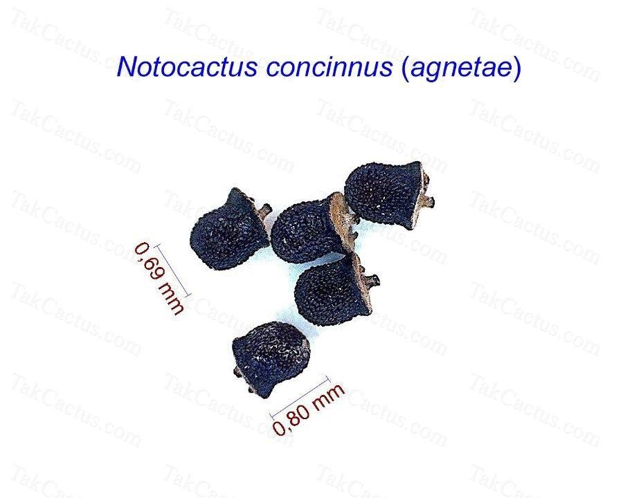 Notocactus concinnus (agnetae)