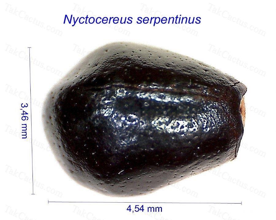 Nyctocereus serpentinus HF
