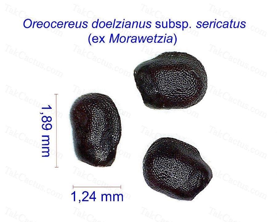 Oreocereus Morawetzia sericata2