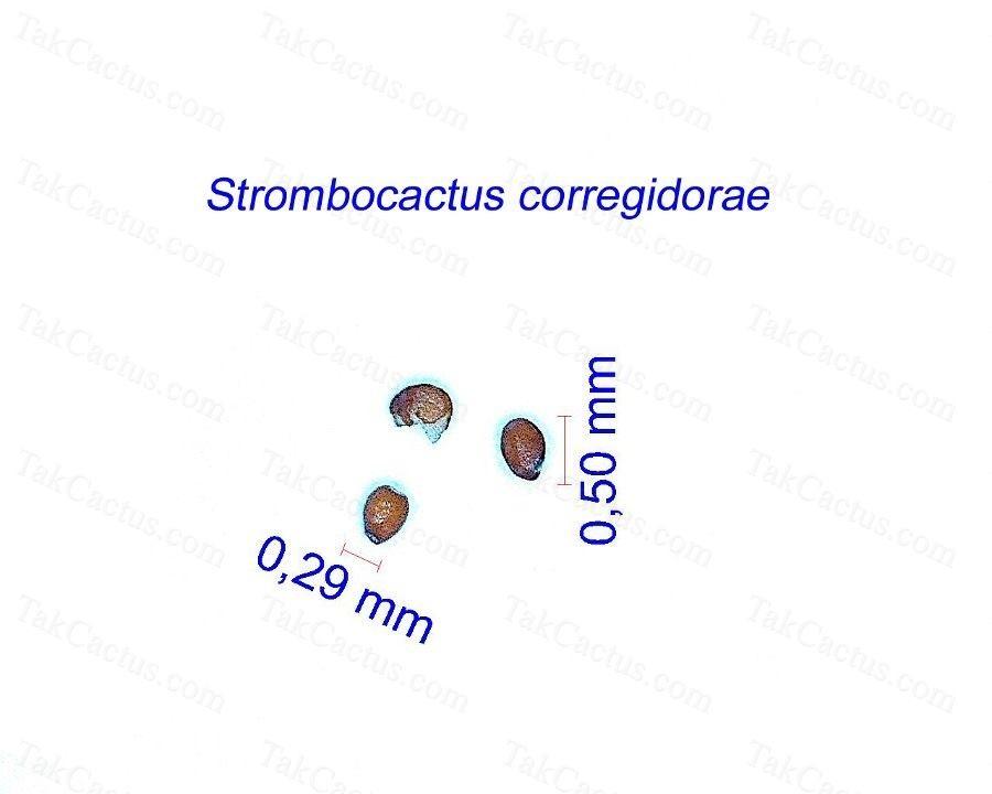 Strombocactus corregidorae CL