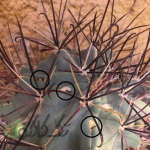 وجود مورچه در گلدان کاکتوس