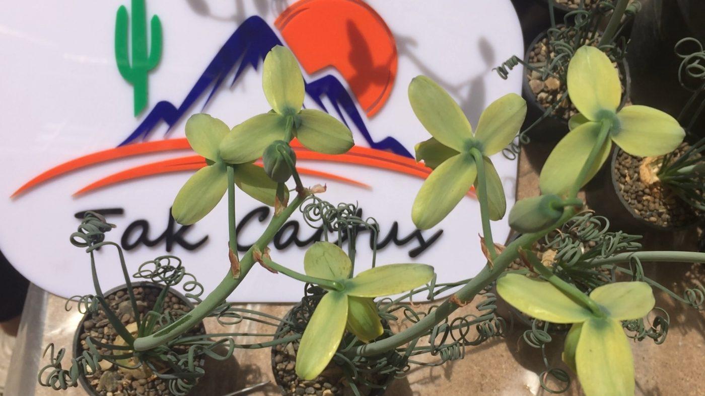 گل آلبوکا