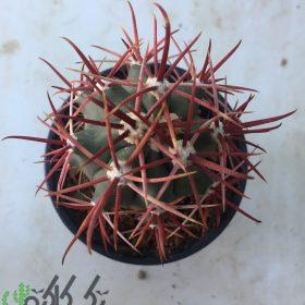 فروش گیاه کاکتوس