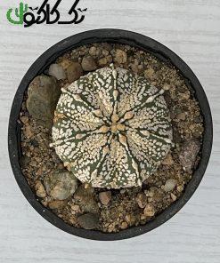 کاکتوس آستریاس CA000719