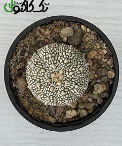 کاکتوس آستریاس CA000720