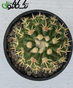 اچینوکاکتوس اینترمدیوس CE000714